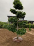 Tree Ringring